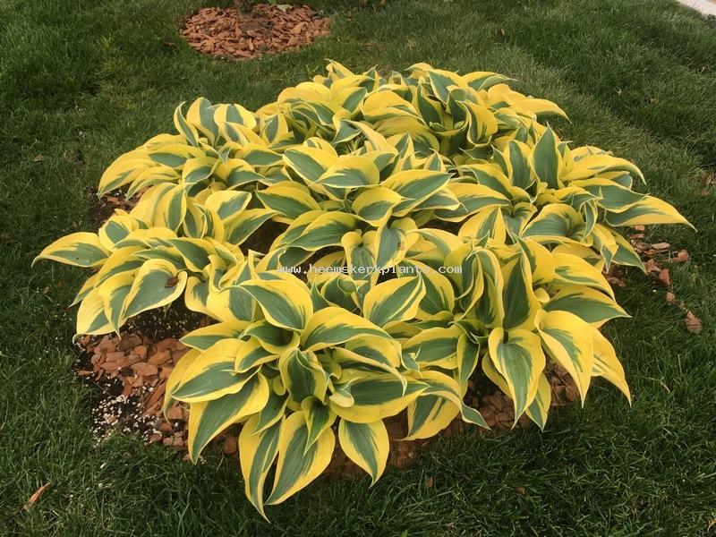 Hosta heemskerk vaste planten perennials